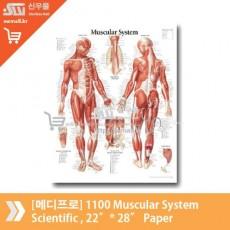 [메디프로]1100 Muscular System